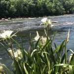 blooming Cahaba lillies
